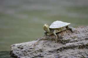 turtle-243732_1280
